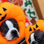 ハロウィンに仮装犬が集合 学校では低コスト衣装人気