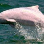 ピンクイルカが32頭だけに 香港水域の生息数、過去最少