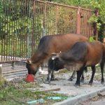 ランタオ島の野牛 タクシーがはねる