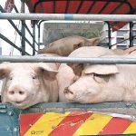 内地のブタ肉輸入販売再開 価格高騰、過去最高の恐れも